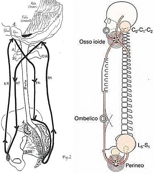 craniosacral, system