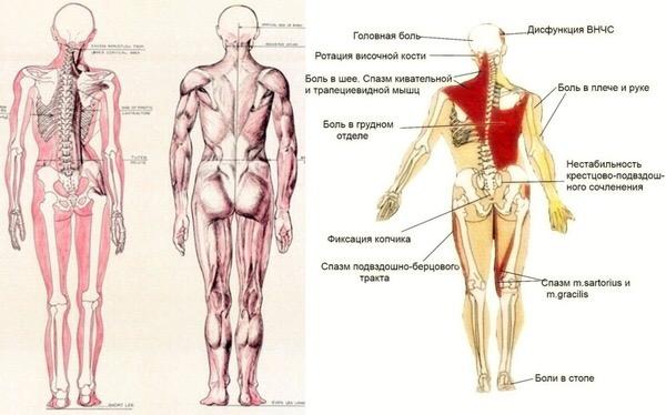 muscle, compensation